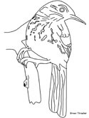 brown thrasher coloring page