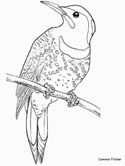 common flicker coloring page