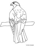 Northern Goshawk coloring page