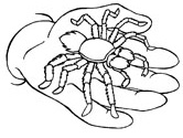 Spider Coloring Pages Tarantula Coloring Page