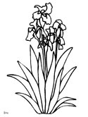 French irises coloring page